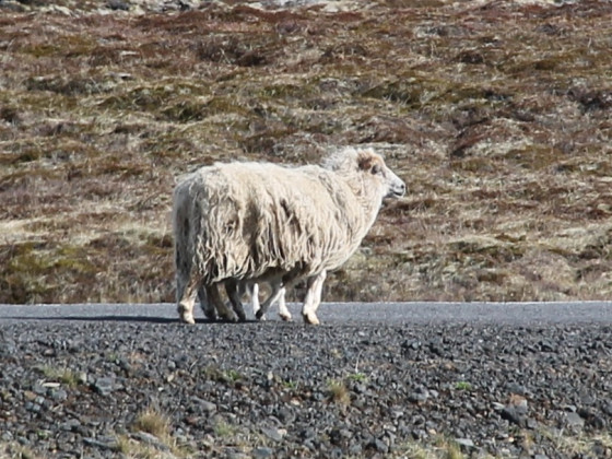 All-terrain Sheep