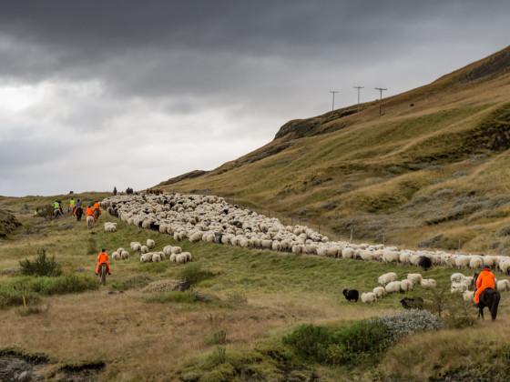 Die Schafe kehren zurück