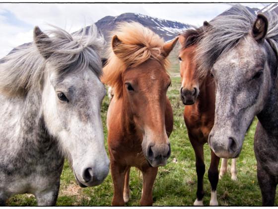 Nichts ist einfacher als Pferde fotografieren...