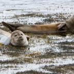 Seals bei Ógur